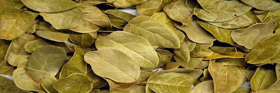 Image Gallery hojas de boldo